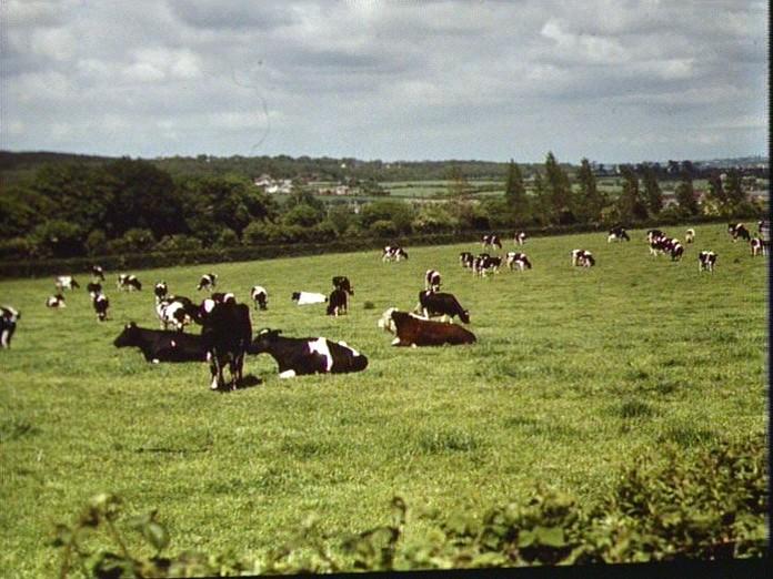 Dairy herd, Carisbrooke.-1986