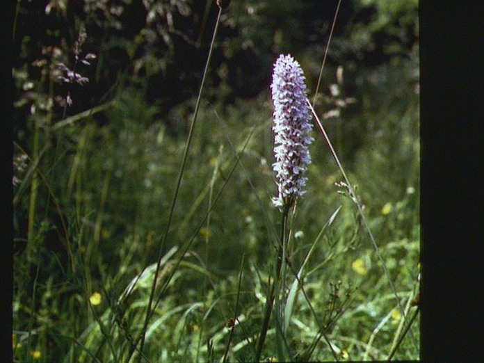 An Orchid.-1986