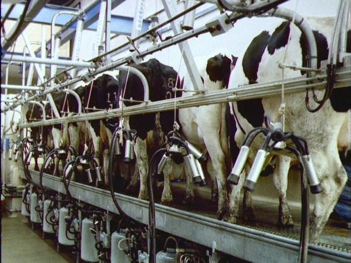 Computerised milking in Dorset