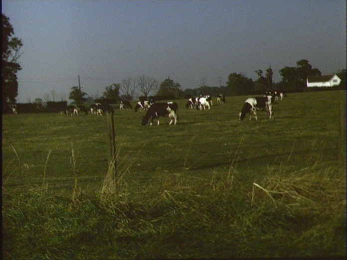 Prize herd grazing